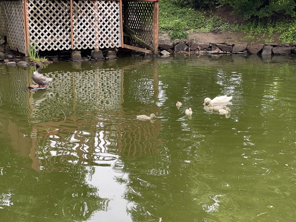 Betty and ducklings