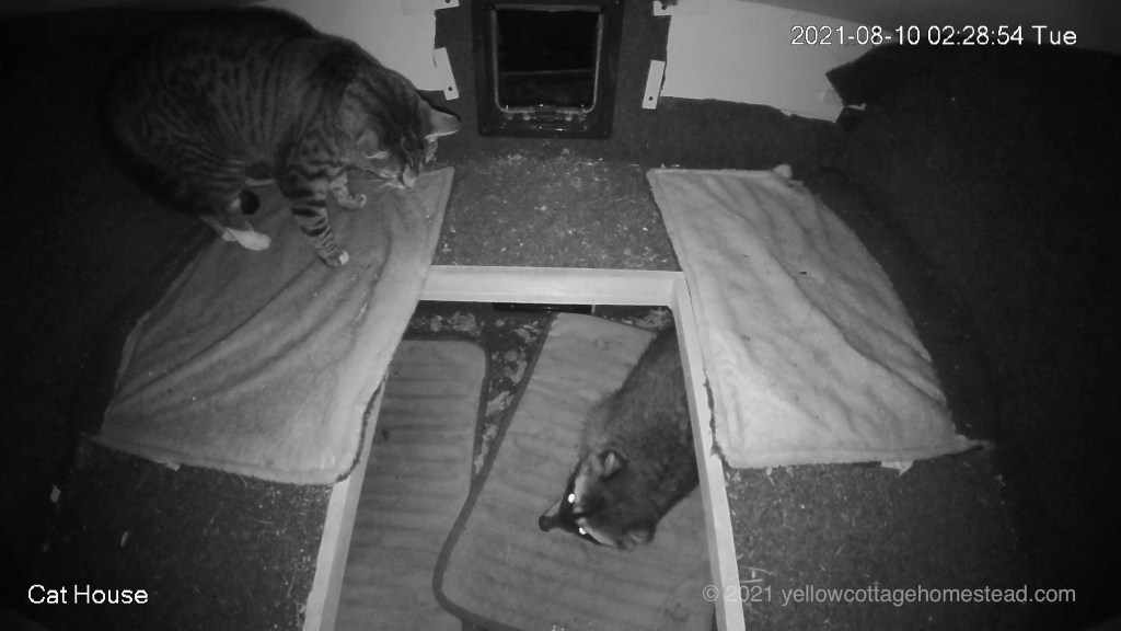 Raccoon and Porcini in the cat house