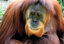 Ape Goes Ape