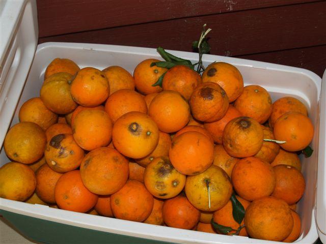 Canning Orange Juice (1/3)
