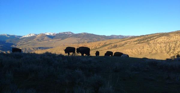 bison backlit in mountains