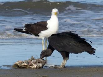 Black headed vultures on the beach