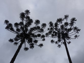 Enjoying the shapes of the Monkey Puzzle trees in Southern Brazil