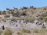 Guanacos around another penguin colony