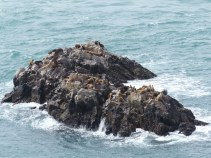 A visit to a colony of Southern Fur Seals - rather less common than Seal Lions or Elephant Seals