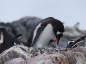 The Gentoo chicks were very young when we were there