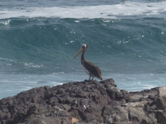 The coast was full of pelicans, along with many cormorants and various gulls