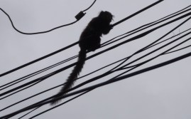 And nimbly climbing through the cables