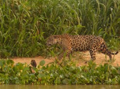 The first Jaguar we saw was clearly on morning patrol