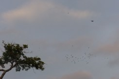 The hawk bothering a flock of parakeets