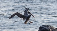 A pelican coming in to land