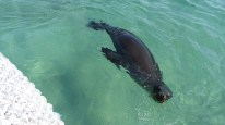 A sealion comes over to the tender to check us out