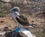 The other delight on North Seymour Island are the Blue Footed Boobies