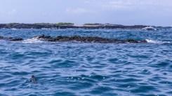 Marine Iguana at sea