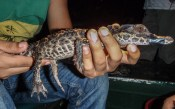 A rare Smooth-Fronted Caiman