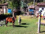 The alpaca provides some company for the horse apparently!