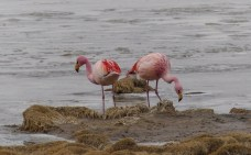 James's Flamingo, one of three species here