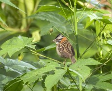 We always enjoyed seeing and hearing Rufous-collared (or punk) Sparrows throughout most of our trip