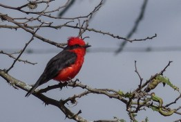 We saw Vermillion Flycatchers in several countries but it took us a while to see a male one like this