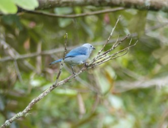 Blue-grey Tanagers are very common in Colombia