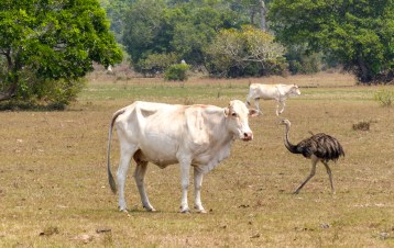 The Pantanal is also used by ranchers