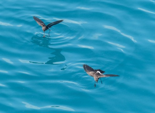 Delightful Wilson's Storm-Petrels dance on the water. They are extremely common and widespread but I don't think anyone knows where they breed