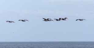 A sight we always appreciated - a group of pelicans flying by, often at dusk