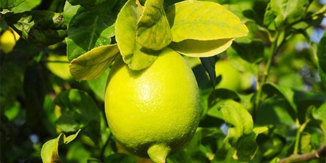 Limon yağının cilde faydaları