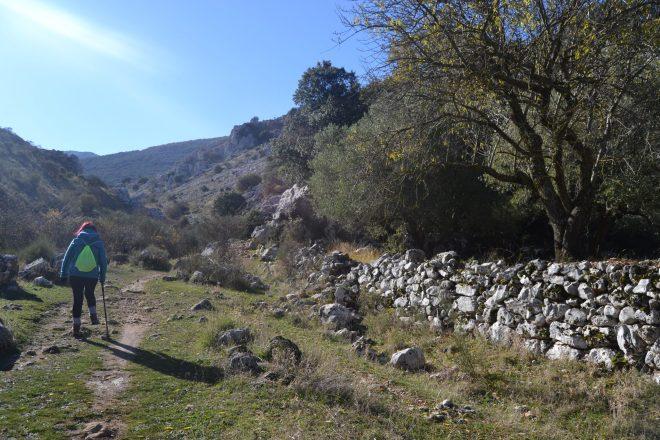 Olivos junto al sendero