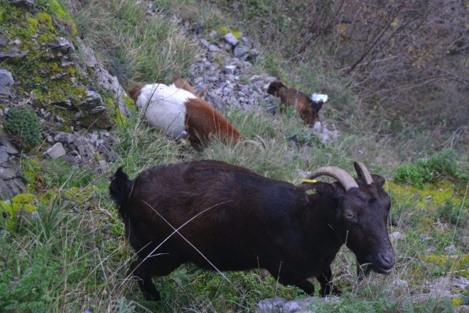 Cabras pastando en la ladera