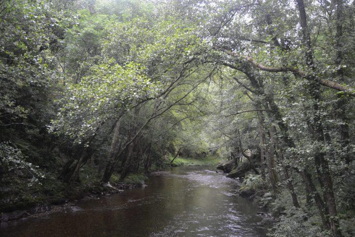 Bosque en galería sobre el río Esva