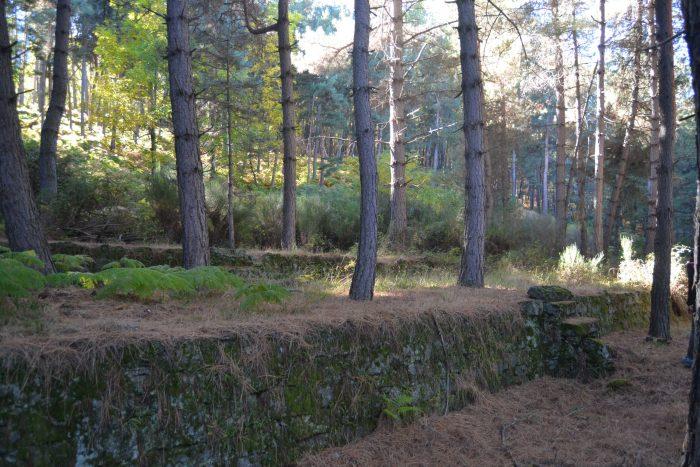 Antiguos bancales de cultivo entre pino
