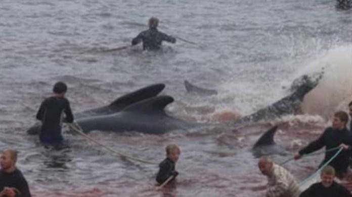 Feroe adalarında barbar gelenek: Yüzlerce yunus katledildi