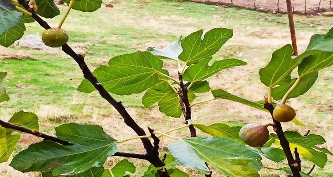 Kahramanmaraş'ta incir ağacı aralık ayında meyve verdi