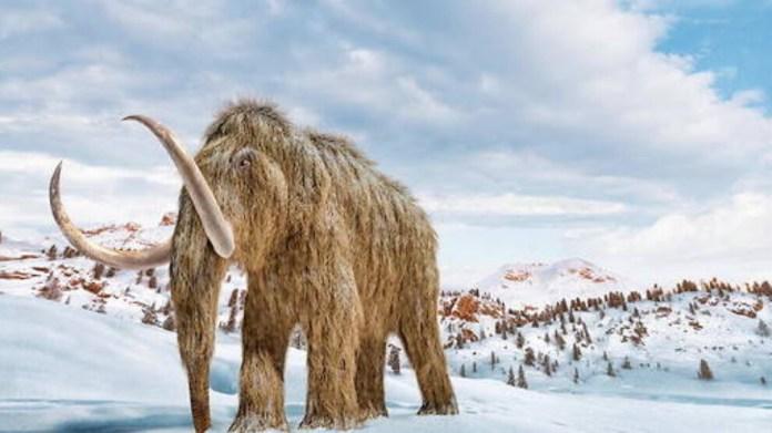 4 bin yıl önce yok olan yünlü mamut yeniden yaşam bulacak mı?