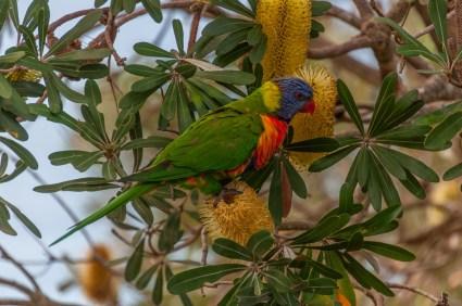 A King Parrot pays us a visit.