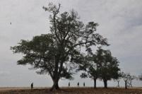 Pohon mangrove terakhir di Pulau Putri.