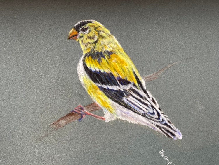 American Goldfinch, colored pencil portrait of this bird