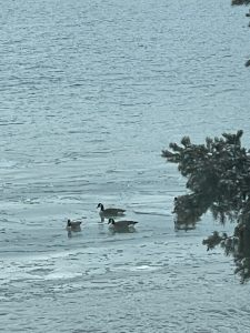 Canadian Geese on Lake Huron in North Michigan in January