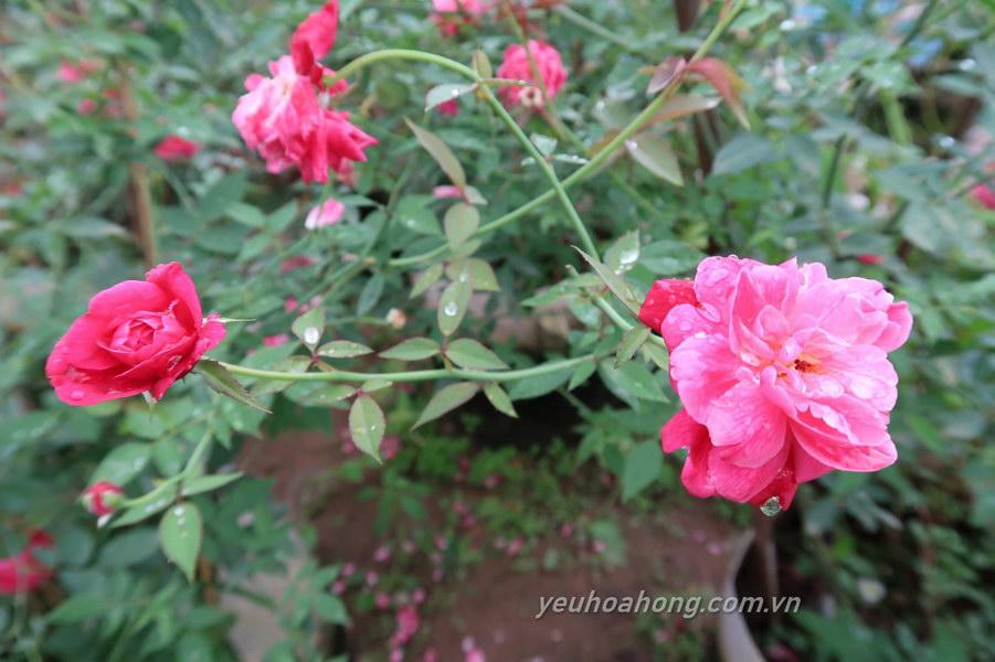 Hồng cổ Huế sai hoa