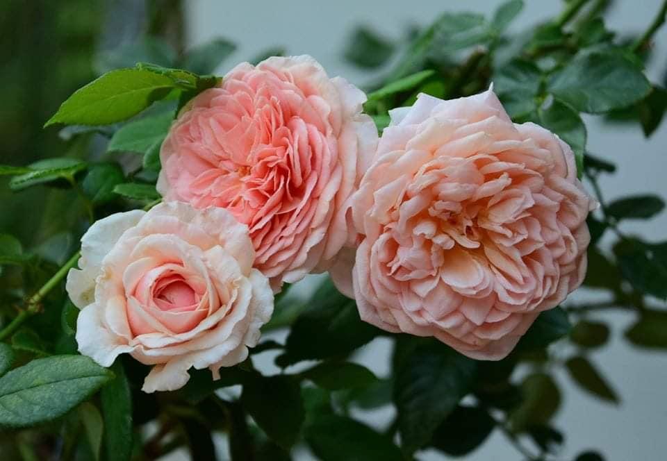 abraham rose