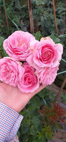 hoa hồng bienvenue