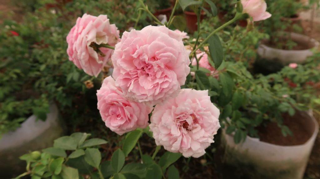 hoa hồng bishop