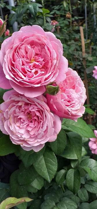 hoa hồng leo misato