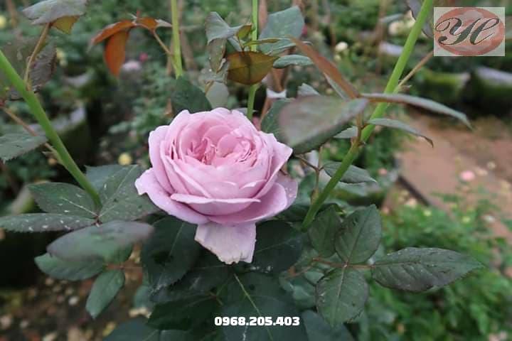 hoa hồng blue stom