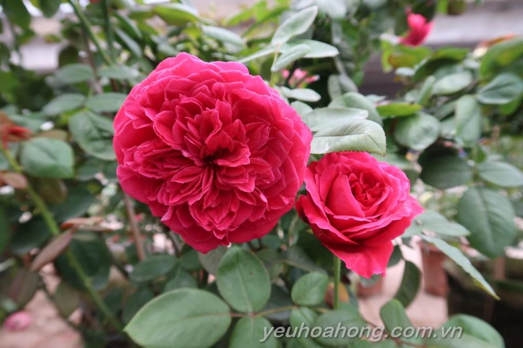 Hồng Rouge Royale