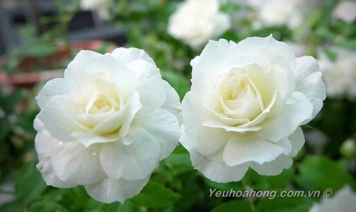 Hoa hồng Shizuku