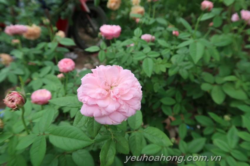 Hoa hồng ngoại Miyako