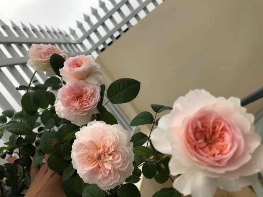 hồng Tranquillity rose