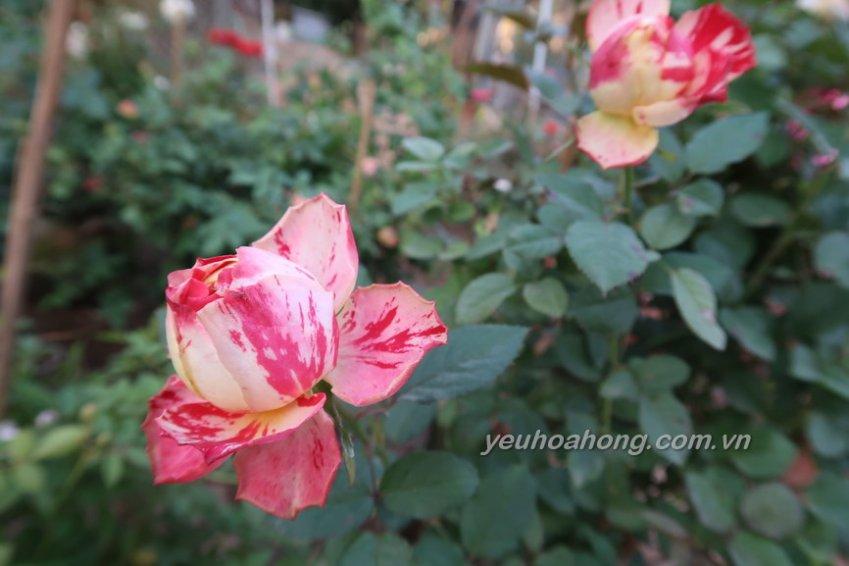 Hoa hồng Party Ranucula